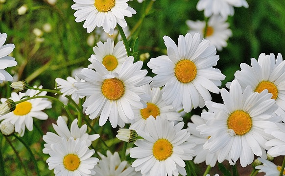 meaning of white in flowers
